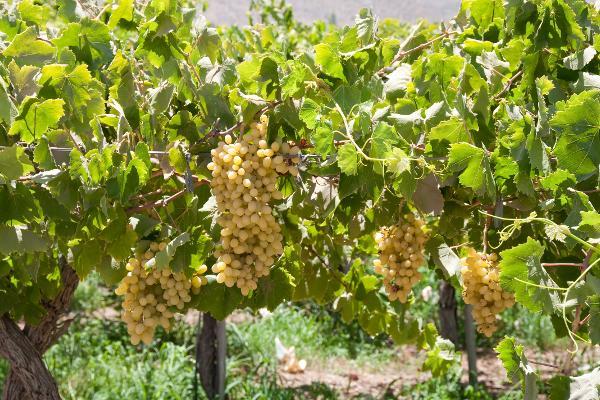 Gita al tempio dell'uva