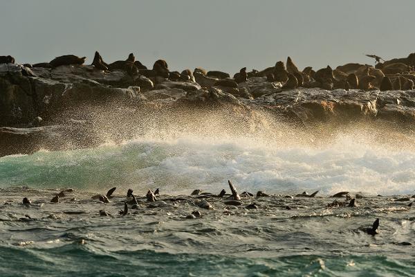 Tête-à-tête con le foche