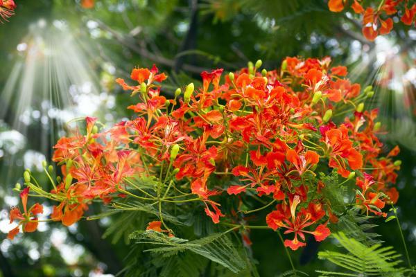 Il fiore di Barbados