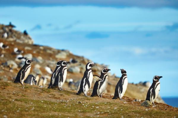 La processione dei pinguini