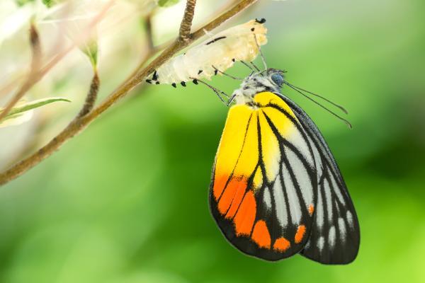 Da bruco a splendida farfalla