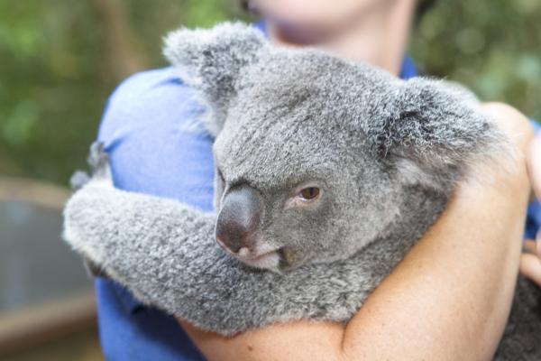 Il santuario dei koala