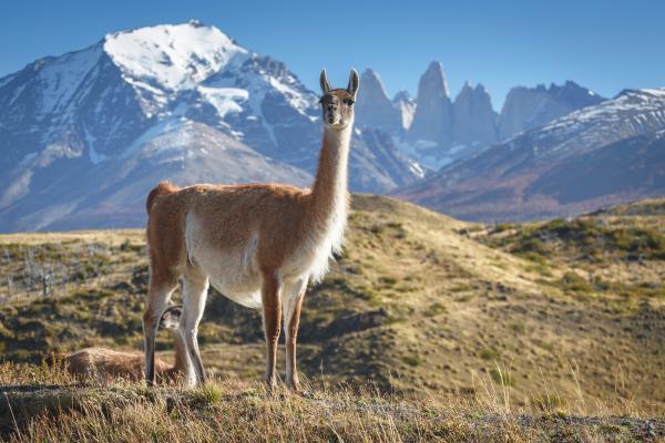 Il lama della Patagonia