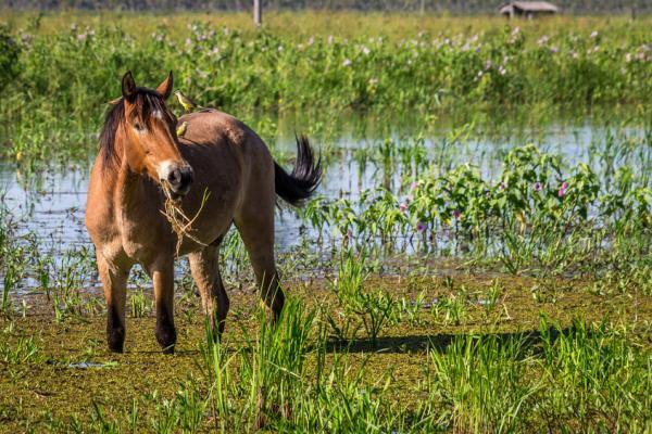 I cavalli selvatici del Brasile